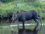 moose bull cow calf calves  - 212211192