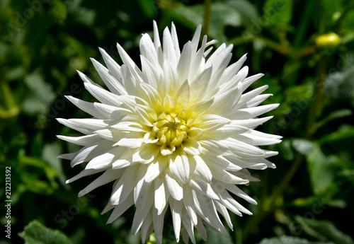resplendent white dahlia at garden