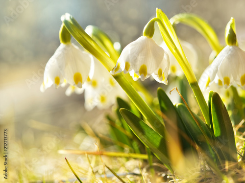 Fototapeta The first spring flowers, snowdrops in meadow, a symbol of nature awakening