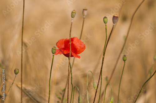 Fototapeta Red poppy in the wheat field