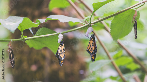 Hanging butterflies and cocoons on green leaves and branch. Pupation of butterfly. - 212223799