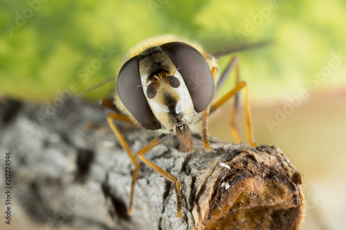 Macro of Hoverfly (Helophilus pendulus) - 212224946
