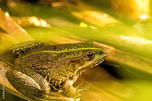 Fotobehang Kikker common water frog in a pond