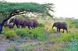 Elephant family walking with baby at Samburu national park kenya africa