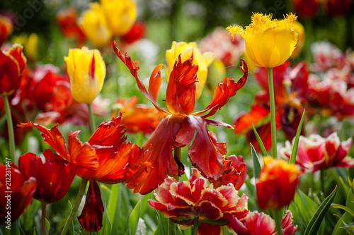 red tulip flowers on the garden, outdoor park