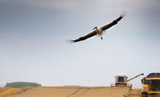 Stork flying about field during harvest - 212235146
