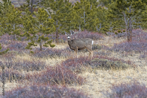 Fotobehang Hert Mule Deer in a Meadow in the Mountains