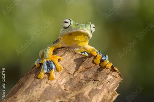 Fotobehang Kikker Flying Frog