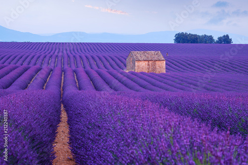Canvas Snoeien Lavender flower blooming fields in endless rows