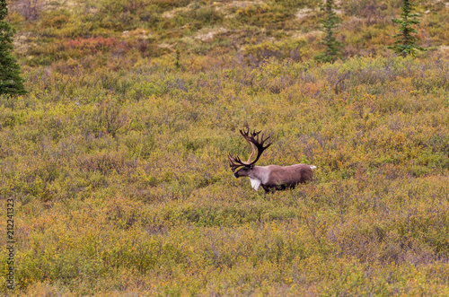 Fotobehang Hert Barren Ground Caribou Bull in Alaska