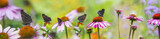 panoramic view - the garden with Echinacea flowers and butterflies - 212245306