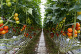 Treibhaus mit industrieller Tomaten-Produktion - 212246727