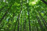 Beech trees green forest environment - 212252512