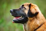 Leonberger dog outdoor portrait head shot against grass - 212256522