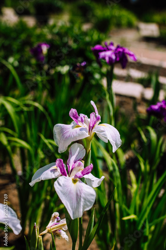 Fotobehang Iris fresh white irises flowers
