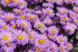 Purple Aromatic aster or Symphyotrichum oblongifolium flower in garden - 212258158