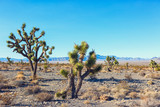 Joshua Tree and forest  in the Mojave National Preserve,  southeastern California, United States - 212258798
