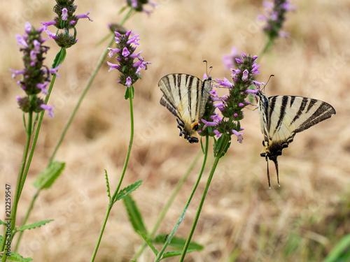Closeup of yellow and black striped scarce swallowtail butterflies. Iphiclides podalirius. - 212259547