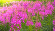 Leinwanddruck Bild - Ivan-tea, kiprei, epilobium, herbal tea on the field, close-up