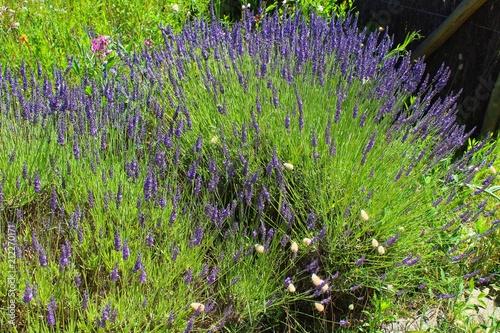 Fotobehang Lavendel lavande vue dans un jardin en vendée