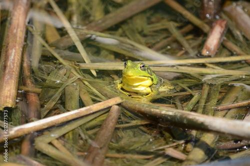 Fotobehang Kikker Green frog, male, with yellow throat during breeding season, Ontario, Canada