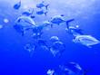 Leinwandbild Motiv School of Fish Swimming in Blue Ocean