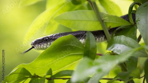 Fototapeta A yellow and black snake flicks its tongue while climbing a tree branch.