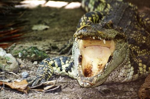Fototapeta Dangerous Crocodile near Water.
