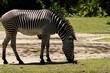 Zebra Sniffing Ground on Sunny Day