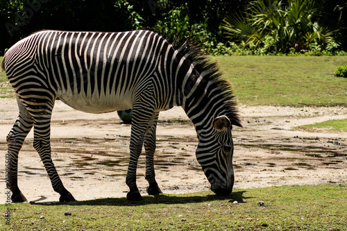 Sticker Zebra Sniffing Ground on Sunny Day