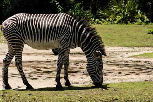 Fototapeta Zebra Sniffing Ground on Sunny Day
