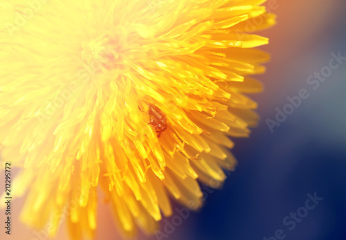 Foto Murales Photo of a macro background yellow dandelion