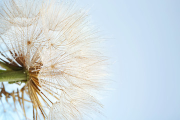 Dandelion seed head on grey background, close up