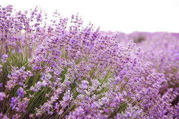 Beautiful blooming lavender in field on summer day