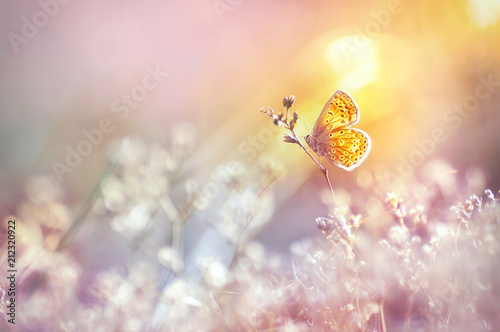 Aluminium Natuur Golden butterfly glows in the sun at sunset, macro. Wild grass on a meadow in the summer in the rays of the golden sun. Romantic gentle artistic image of living wildlife.