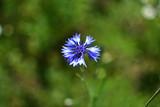 close-up blue field flower Cornflower Centaugea cyanus on soft blurred green background