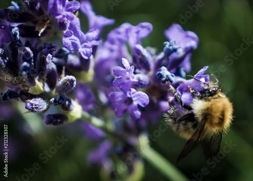 Bumble Bee Collecting Pollen from Lavender Flowers, Summertime, Close Up, Macro - 212328307