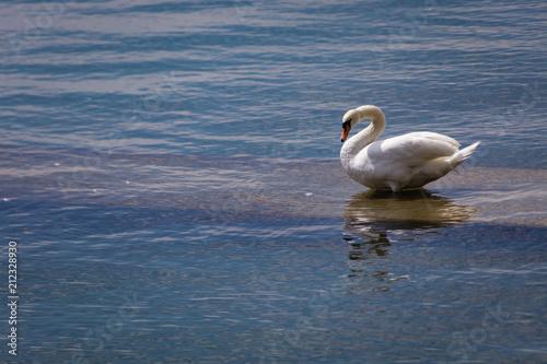 Fotobehang Zwaan Schöner Weißer Schwan Schwäne am Wasser
