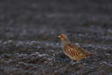 Grey partridge run on the field, winter, germany, (perdix perdix)