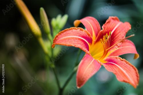 Fototapeta lily