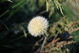 White withered flower of purple cornflower, soft bokeh of dark green grass