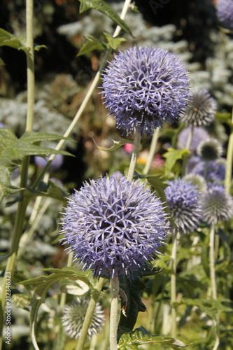 Fototapeta Fleurs Allium