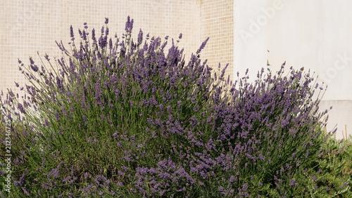 Fotobehang Lavendel Lavande dans la rocaille, jardin
