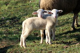 Two small adorable fluffy lambs standing on uncut grass and posing for camera on warm winter day - 212352170