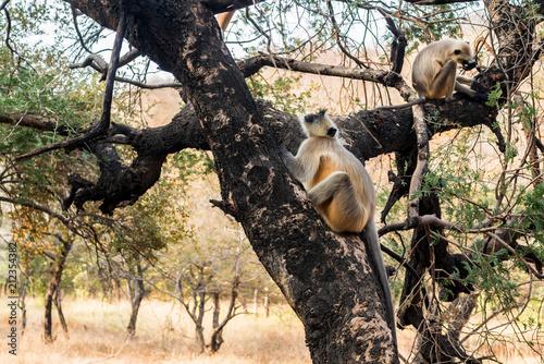 Aluminium Aap Gray langur or Semnopithecus etellus sits on tree