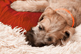 Dog breed Irish Soft Coated Wheaten Terrier puppy with long eyelashes napping on a white shaggy blanket - 212355351