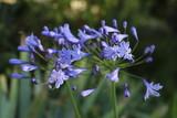 Agapanthe bleue - 212361703