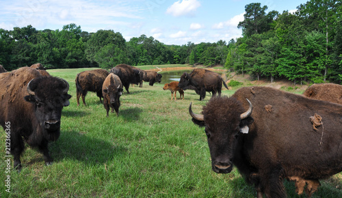 Canvas Bison Buffalo Roaming in a Field