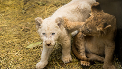 Lion cubs being hand raised, one is a white lion. Lions are at a special care park in south africa.