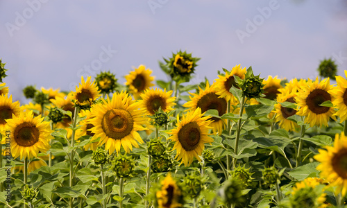 Field with sunflowers against a background of a blue sky. Selective focus.